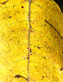 yellow leaf macro