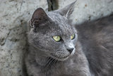 Grey cat head closeup