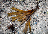 Brown seaweed on a beach