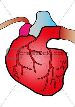 cardiac system