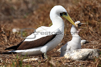 white booby