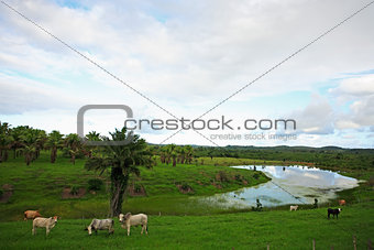 cows in bahia