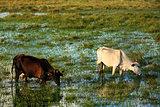 cows in bahia