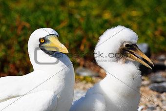 white booby