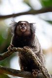 mico sagui