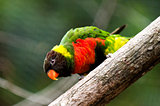 Mitchell's Lorikeet
