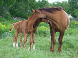 landscape with  horses: mare and her foal on green grass