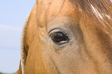 Detail of a red horse'e eye