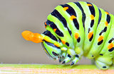 papilio machaon caterpillar