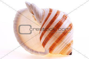 Isolated seashel on white background