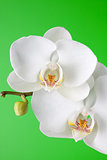 White orchid on green background