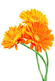Three orange gerbera flowers