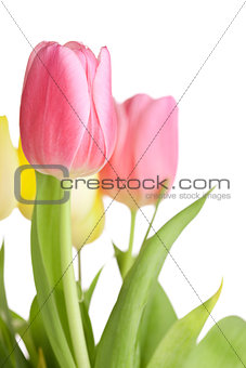 Beautiful pink tulip flowers