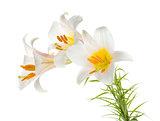 Three white lily