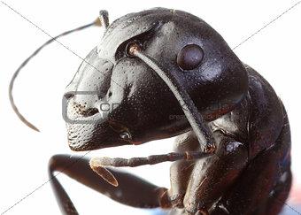 Black Garden Ant Cutout