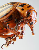 Colorado Beetle Macro