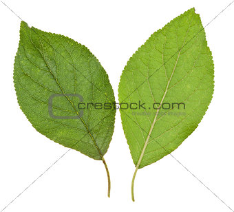 green leaves of plum tree