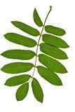 green twig of rowan tree