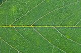 oak green leaf close up