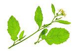 Black mustard (Brassica nigra)
