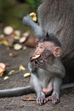 Monkey small chind macaque