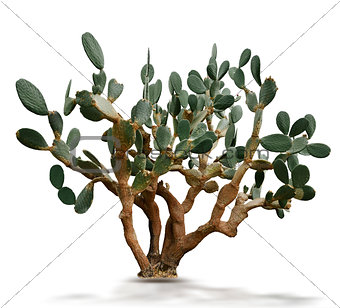 Indian Fig Plant