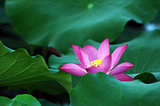 Lotus flower and plant