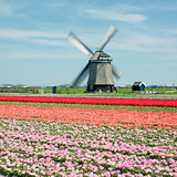 windmill with tulip field near Sint-Maartens-vlotbrug, Netherlan