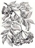 rowan branch aquarelle drawing
