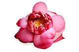 real lotus