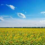 sunflowers on field under cloudy sky