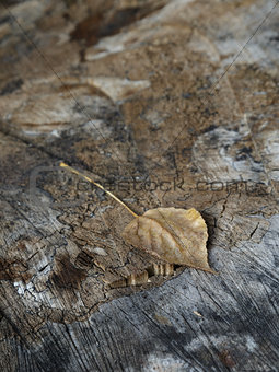 old stump with leaf