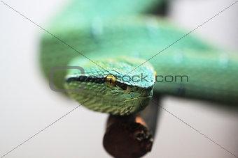 green poisonous snake