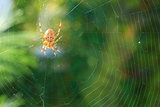 spider on a web spider