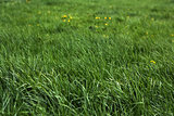 Fresh green grass and yellow flowers of a meadow