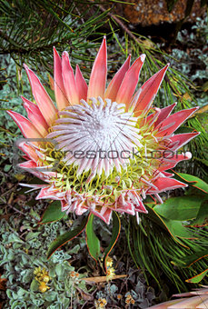 King Protea cynaroides bracts and flowers open