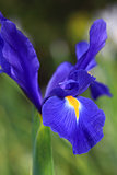 Dutch Iris Professor Blaauw, glistens after rain in the garden