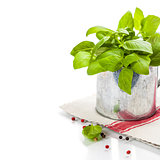 Fresh basil in the pot