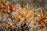 Sea buckthorn bush with berries