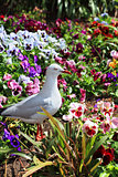 Silver Gull in garden bed of pansies