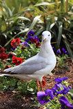 Juvenile Silver Gull in garden