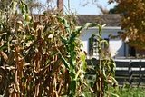 Cornstalks in Autumn with Farmhouse