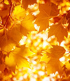 Dry autumnal leaves background