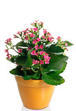 closeup kalanchoe flowering plant in pot on a white background