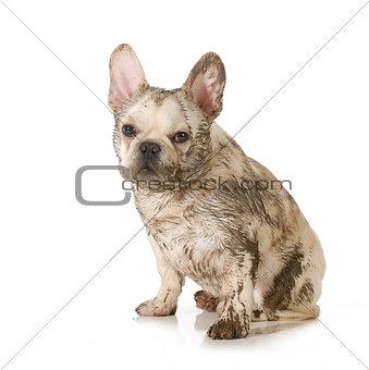 muddy dirty dog