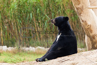 Asian Black Bear sit resting
