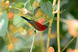 male Crimson Sunbird (Aethopyga siparaja)