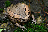 female Painted Bullfrog (Kaloula pulchra)