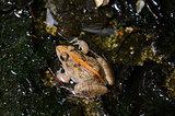 male Rice Field Frog (Fejervarya limnocharis)