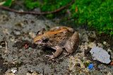 male Rice Field Frog (Fejervarya limnocharis)